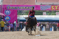 Buffalo racing , Traditional Festival. Stock Photography