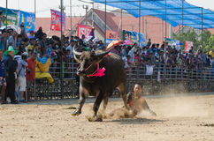 Buffalo racing , Traditional Festival. Chonburi, Thailand - October 26 , 2015 Buffaloes racing is held annually. the event is normally held before the rice Stock Photography