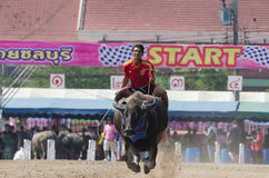 Buffalo racing , Traditional Festival. Chonburi, Thailand - October 26 , 2015 Buffaloes racing is held annually. the event is normally held before the rice Stock Photo