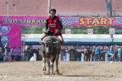 Buffalo racing , Traditional Festival. Royalty Free Stock Image