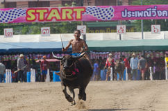 Buffalo racing , Traditional Festival. Stock Images