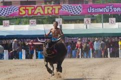Buffalo racing , Traditional Festival. Stock Images