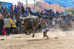 Buffalo racing , Traditional Festival. Royalty Free Stock Images