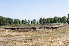 Buffalo. Raising of dairy buffalo for the production of mozzarella stock photos