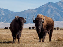 Buffalo Ranch Royalty Free Stock Photos