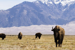 Buffalo ranch. On Midwest Royalty Free Stock Photography