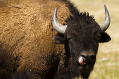 Buffalo ranch Royalty Free Stock Photography
