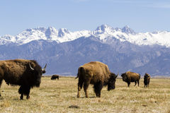 Buffalo ranch. On Midwest. Mountains Royalty Free Stock Photos
