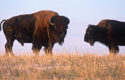 Buffalo on the range, Nebraska Royalty Free Stock Photos