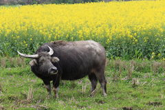 Buffalo in the rape flower Royalty Free Stock Images