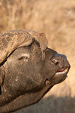 Buffalo with red-billed oxpecker Stock Photography