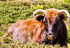 A buffalo with a red flower tagged ear lying down. A light brown buffalo sat in a green bush Royalty Free Stock Photography