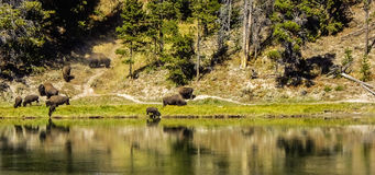 Buffalo Reflections Royalty Free Stock Photo