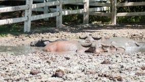 Buffalo relaxes in a mud. Stock Photos