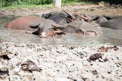 Buffalo relaxes in a mud. Royalty Free Stock Photos