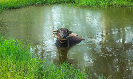 Buffalo relaxing near the pond. Buffalo relaxing in the pond in the farm Stock Images
