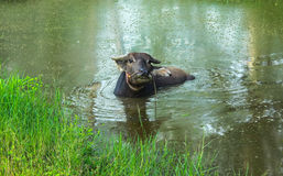 Buffalo relaxing near the pond. Buffalo relaxing in the pond in the farm Royalty Free Stock Photography