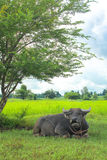 Buffalo relaxing under the tree. In the rice field Royalty Free Stock Photo