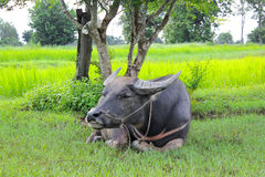 Buffalo relaxing under the tree. In the rice field Royalty Free Stock Image