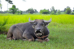 Buffalo relaxing under the tree. In the rice field Royalty Free Stock Photos