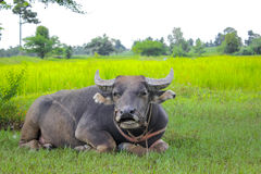 Buffalo relaxing under the tree. In the rice field Stock Images