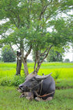 Buffalo relaxing under the tree. In the rice field Stock Photos