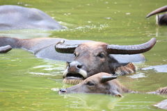 Buffalo rest in pond Stock Photography