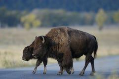 Buffalo restant sur la route Photographie stock libre de droits