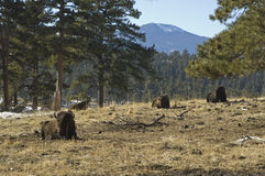 Buffalo resting. Group of buffalo resting in the mountains of Colorado Stock Image