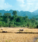 Buffalo on rice field Royalty Free Stock Photography