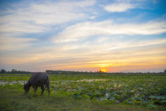 Buffalo in rice filed. On sunset beautiful sky Stock Photos