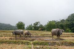 Buffalo in rice terraces field in Mae Klang Luang ,  Chiang Mai, Thailand Royalty Free Stock Image