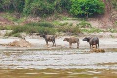 Buffalo in riva del fiume del Mekong Immagine Stock