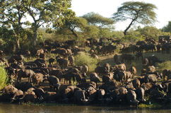 Buffalo at river. Cape Buffalo come down to the river to have a drink of water royalty free stock photo