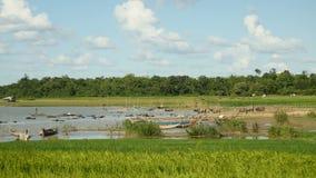 Buffalo ,river, buffalo herd, buffalo in river, water buffalo stock video
