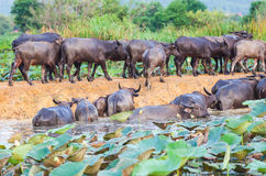 Buffalo  in the river Stock Images