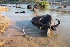 Buffalo in the river. Buffalo, cattle cross the border at the Moei river, Mae Sot, Thailand Royalty Free Stock Photo