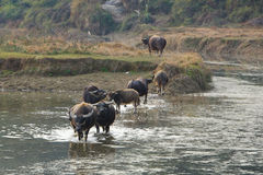 Buffalo in river Royalty Free Stock Image