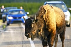 Buffalo on the Road Royalty Free Stock Images