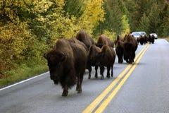 Buffalo On Road. A herd of buffalo block the road in yellowstone Stock Image