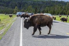 Buffalo road crossing stock image