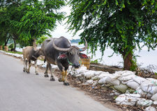 Buffalo on road in Irrawaddy River Stock Images