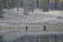Buffalo roam to the river. Two buffalo at the bank of the river with their reflections appearing in the water with trees and landscape in the background Stock Photo
