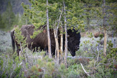 Buffalo rubs a tree. A buffalo bull rubs a tree and sticks out his tongue in Yellowstone national park in summer Royalty Free Stock Images