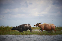Buffalo run on water. Buffalo run on water in lagoon in Thailand Royalty Free Stock Image