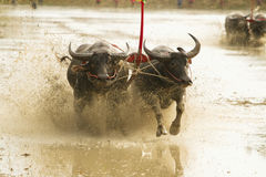 Buffalo running  at  Buffalo Racing Festival is a tradition of Royalty Free Stock Image