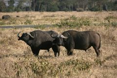 Buffalo's Royalty Free Stock Images