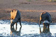 Buffalo's drinking water Stock Photo