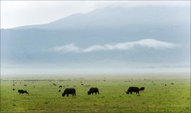Buffalo s are grazed. Royalty Free Stock Images