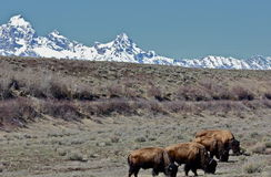 Buffalo's lineup. Buffalo having thier dinner in The Grand Teton National Park, bordering the National Elk Refuge Stock Photos